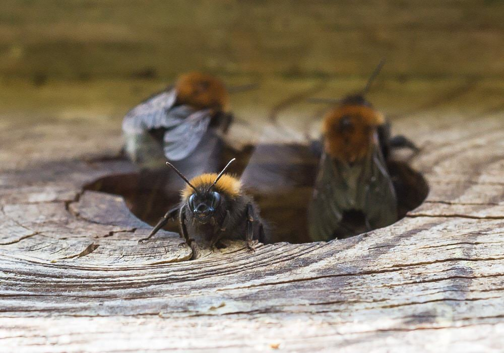 bumble bees inside some wood